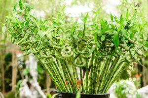 202932 680x450 luckybamboo 300x199 لماذا نحب نبات البامبو ؟