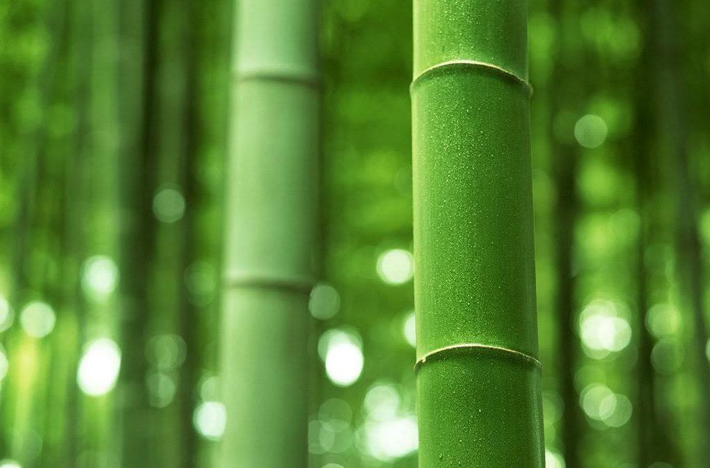 لماذا نحب نبات البامبو ؟