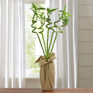 lucky ever bamboo 1 1 300x300 لماذا نحب نبات البامبو ؟