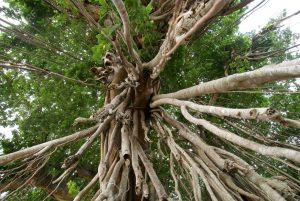 84414734 banyan tree trunk and branches from low angle 300x201 هل الخشب من شجرة الأبانوس قابل للاستخدام؟