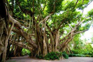 banyan tree 1438339676 300x200 هل الخشب من شجرة الأبانوس قابل للاستخدام؟