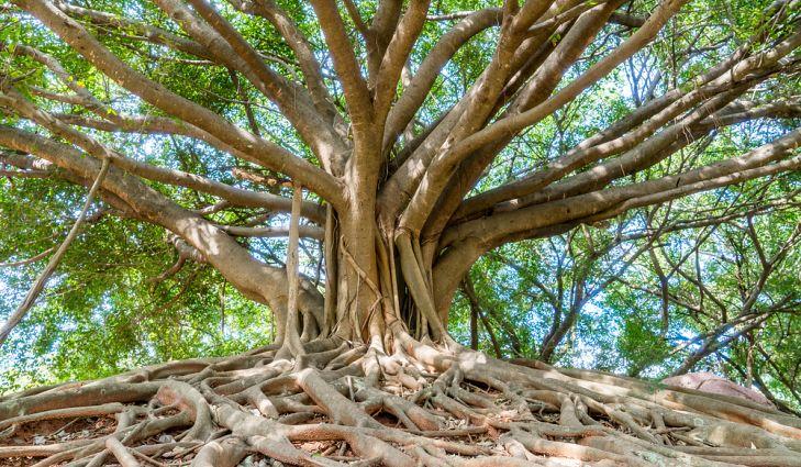 هل الخشب من شجرة الأبانوس قابل للاستخدام؟